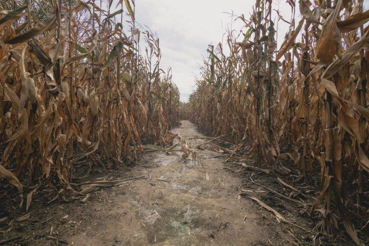 dried-out-corn-maze.jpg
